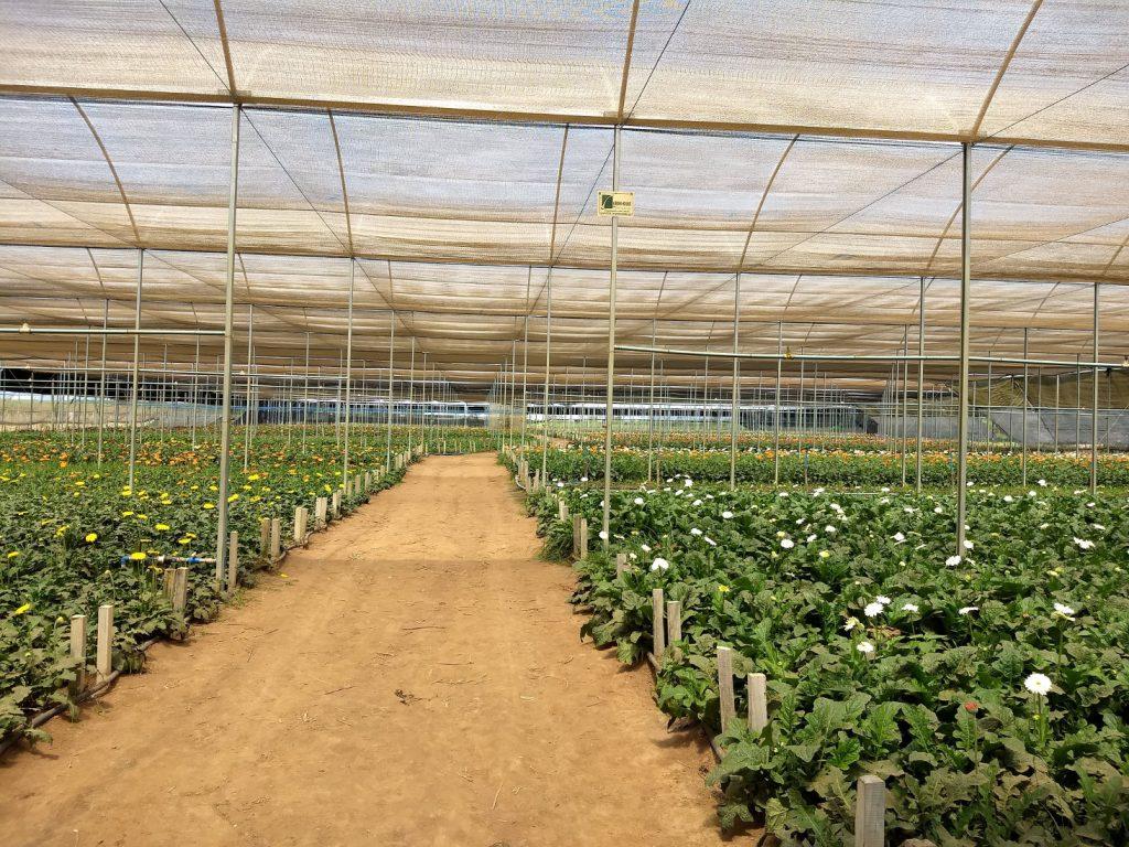 Gerbera farm